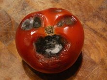 rotten-tomato