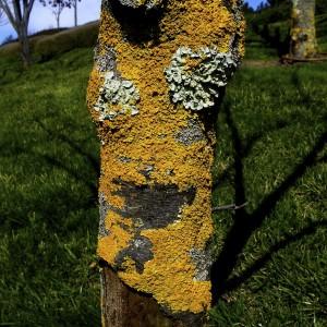 lichen-smiley-tree