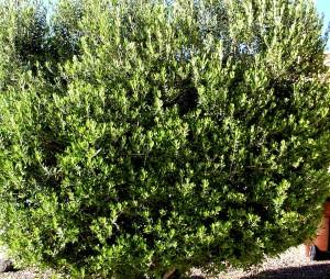 smiling-olive-bush
